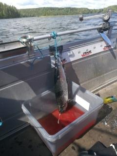 Järvilohi 3,00 kg