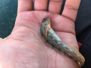 Kivinilkka 50 g