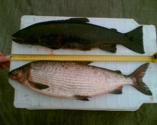 Siika 2,00 kg