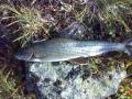 Harjus Lapista 2009