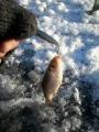 Tämän vuoden eka pilkkikala