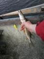 Hurus -vaapulla toinen  minihauki soutu-uistelemalla Lahnajärvellä.