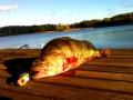 Ensimmäinen kala popperilla. Painoa 440g.