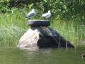 Tuommoinen löytyi järven pohjasta ja vein sen kiven päälle. Harmillisesti joku varasti sen muutaman viikon kuluttua...