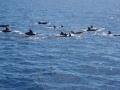 Delfinit matkassa El Hierron saaren ympärilla