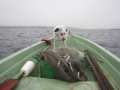 Muikkuja verkoista ja Terru koira mielissään