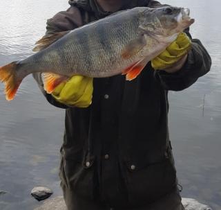 Ahven 1,51 kg