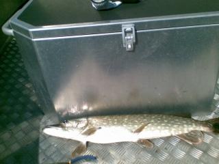 Hauki 2,50 kg