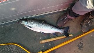Järvilohi 2,62 kg