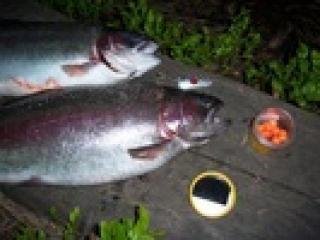 Kirjolohi 1,26 kg