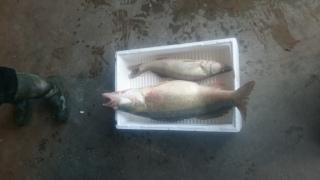 Kuha 6,76 kg