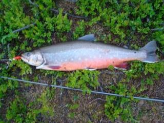 Nieriä (Rautu) 2,50 kg
