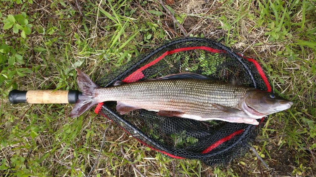 Harjus 1 35 Kg Perhokalastus Luttojoki