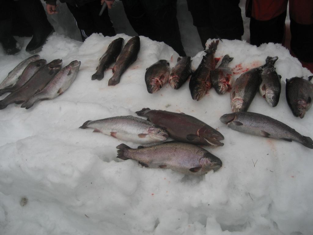 Kyynäröjärven kalastajien kaloja sm-lohipilkillä 2010.