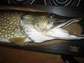 Hauki 10,52 kg - kalatrofee - pää