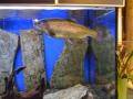 Kuusamon Uistin -myymälässä on hieno kala-akvaario osasto.