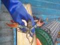 Tämä rapu oli mukavan kookas. Taisi hieman pänniä, kun oli eksynyt minun mertaani, sen verran uhkaavasti saksiaan käytti.