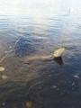 Yks päivä Savage Gear Real Eel 20cm jigillä pieni hauki