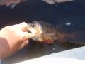 Ahvenille maistui 7cm minnow spoon. kuvassa isoin ja yksi monesta.