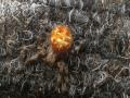 Ristihämähäkki löyty tuulikaapin oviverhosta roikkumasta :)