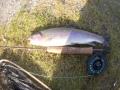 Minikirre paljakan kalastus puistosta goddard caddiksellä, kala oli noin 32cm pitkä,c&r.
