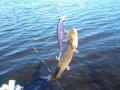 Iso viehe, iso kala, vai miten se olikaa?
