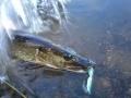 Hauki Räiskäyttää vedet pyrstöllään.