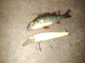 Ahven isommalla vaapulla kuin itse kala.