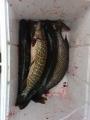 18.5 sampaanselkä ei antanut mitään, puhosesta tuli sit.reiluun tuntiin kaikki kalat.