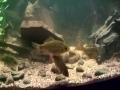 Ruutanoita akvaariossa. alkoivat syömään jo toisena päivänä.