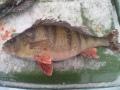 1.34  kg     42.5 cm   Kankarisvesi    Jämsänkoski
