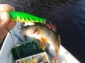 Päivän ainut kala :)