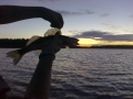 Viimeinen silmäys vedenpinnan yläpuolella. Sitten takasin veteen.
