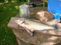 Kauden aloitus Tuusis kala 4730g