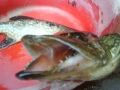 Kala ja suuri suu.
