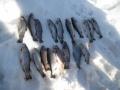 Kyynäröjärven kalastajien saalista aulangolta pilkki kisoista.
